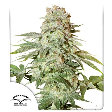 Auto Power Plant feminised cannabis seeds