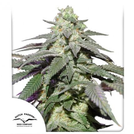 Auto Sykwalker Haze autoflowering cannabis seeds