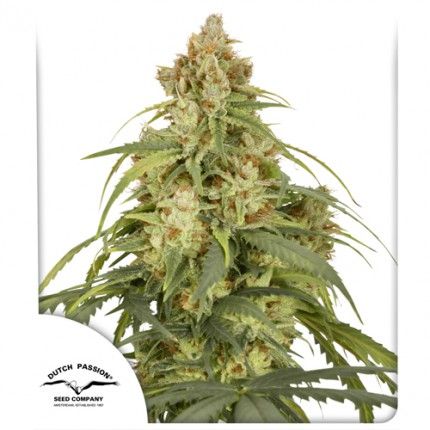 Auto CBD-Victory autoflowering cannabis seeds