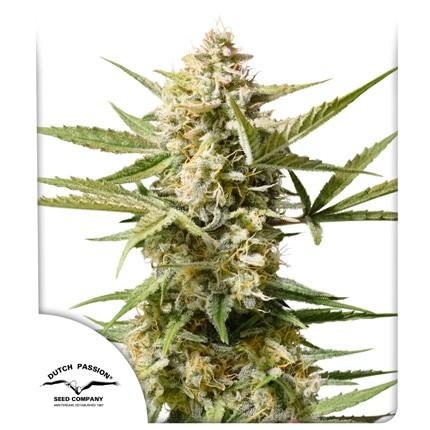 Graines de cannabis Auto Cinderella Jack