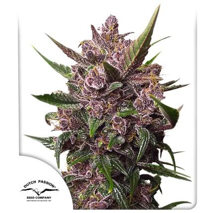 Graines de cannabis Auto Blackberry Kush