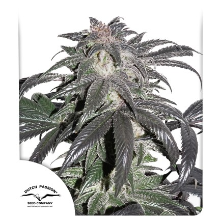 Graines de cannabis Bubba Island Kush