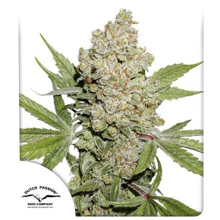 Graines de cannabis Auto Lemon Kix