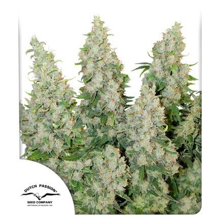 Graines de cannabis Think Different