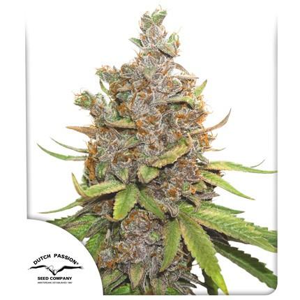Graines de cannabis Auto Glueberry OG