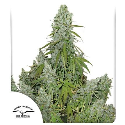 Graines de cannabis Auto Ultimate