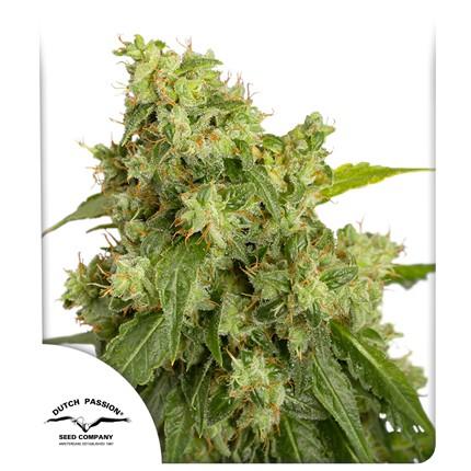 Graines de cannabis Auto Xtreme
