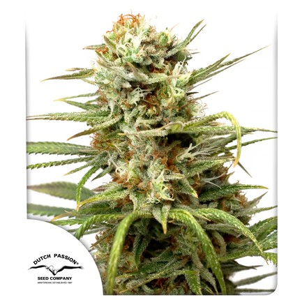 Graines de cannabis Auto White Widow
