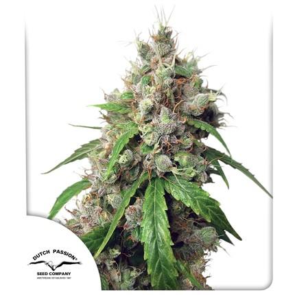 Graines de cannabis Auto Euforia