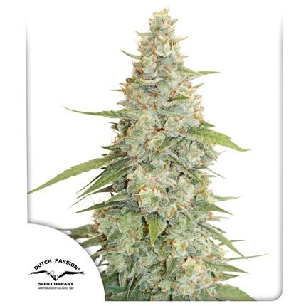 Graines de cannabis Meringue