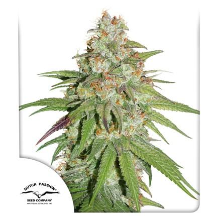 Graines de cannabis Glueberry OG