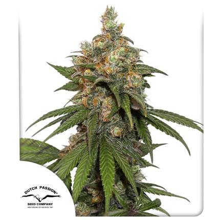 Graines de cannabis HiFi 4G