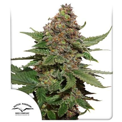 Graines de cannabis Straweberry Cough