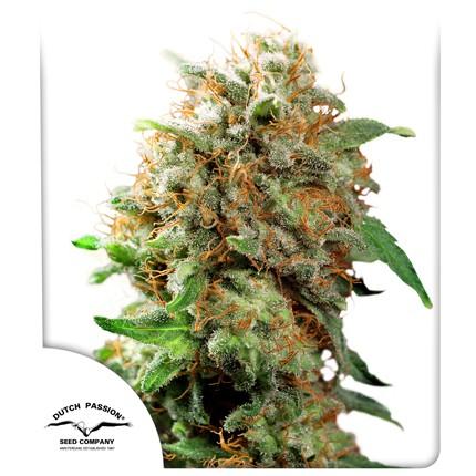 Graines de cannabis Mazar