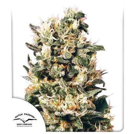Graines de cannabis Euforia