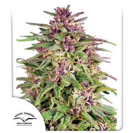 Graines de cannabis Frisian Dew