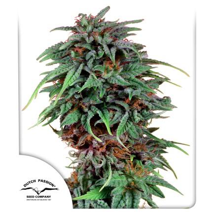 Graines de cannabis Durban Poison
