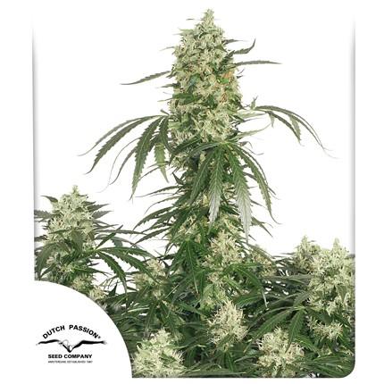 Graines de cannabis The Ultimate