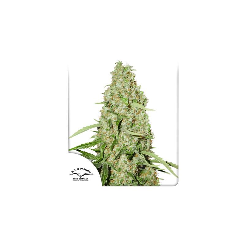 Think Fast feminised cannabis seeds