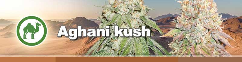 Dutch Passion Afghani Kush cannabis seeds