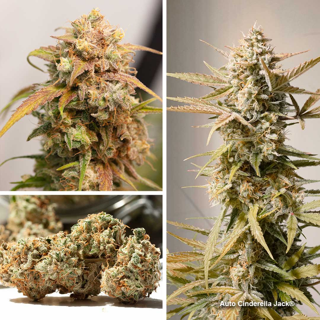 Auto Cinderella Jack by Dutch passion