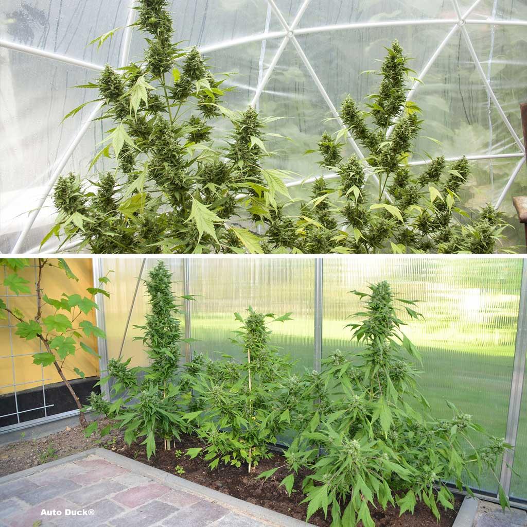Auto Duck, stealth autoflower in a greenhouse