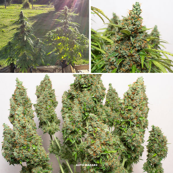 Auto Mazar is perfect for guerilla cannabis growing