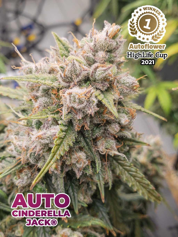 Auto-cinderella-jack-cannabis-seeds-best-autoflower-highlife-cup-2021-dutch-passion