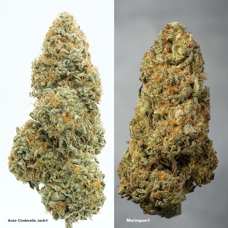 Autoflower vs Feminised buds