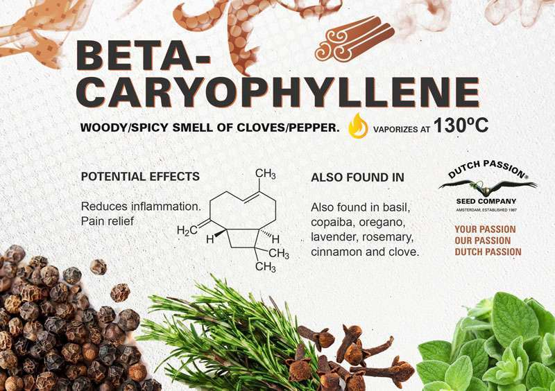 Beta-caryophyllene terpene profile