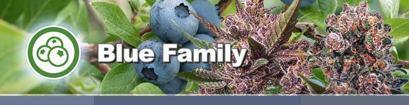 Blue Family of cannabis seeds