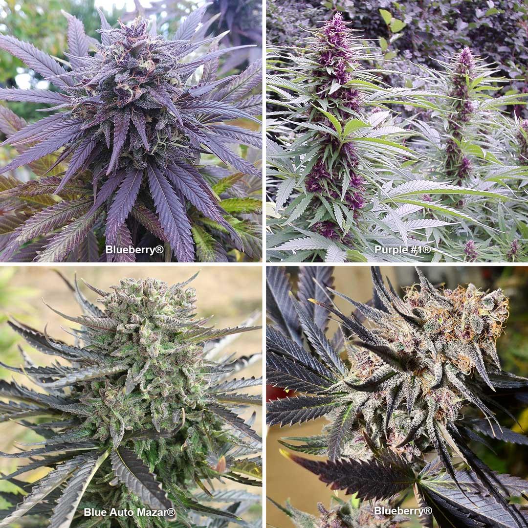 Purple and blue cannabis strains