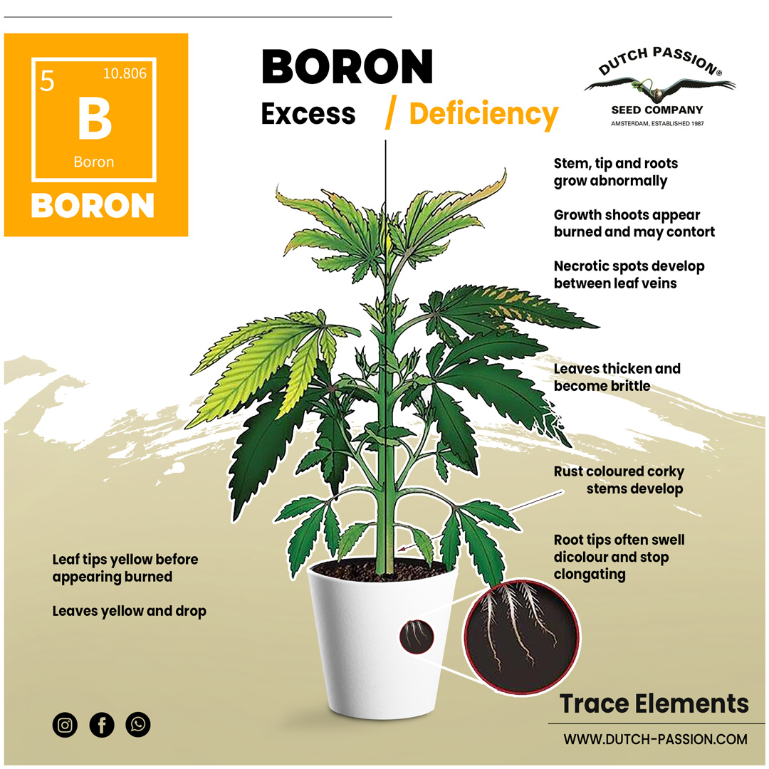 Boron deficiency in a cannabis plant