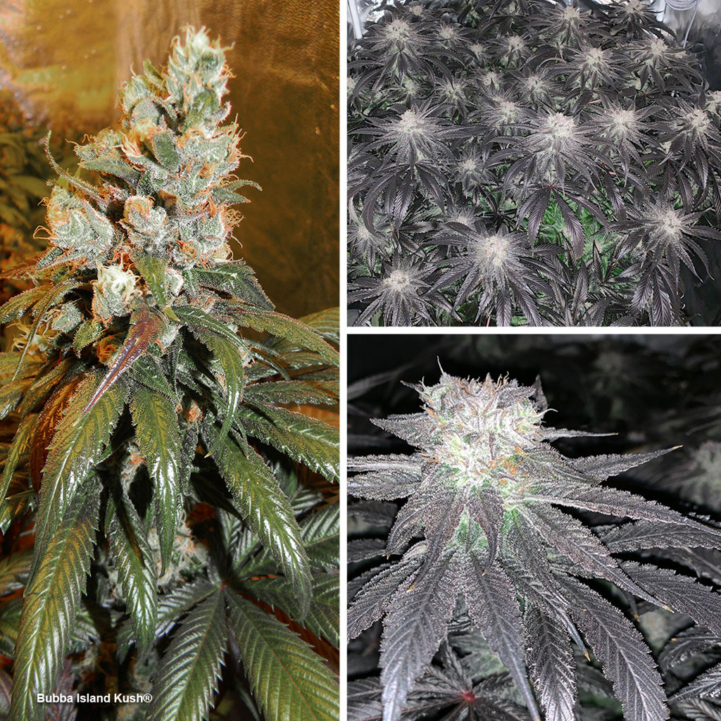 Blogs/Bubba-Island-Kush-sog-cannabis-top-6-dutch-passion-seed-company.jpg