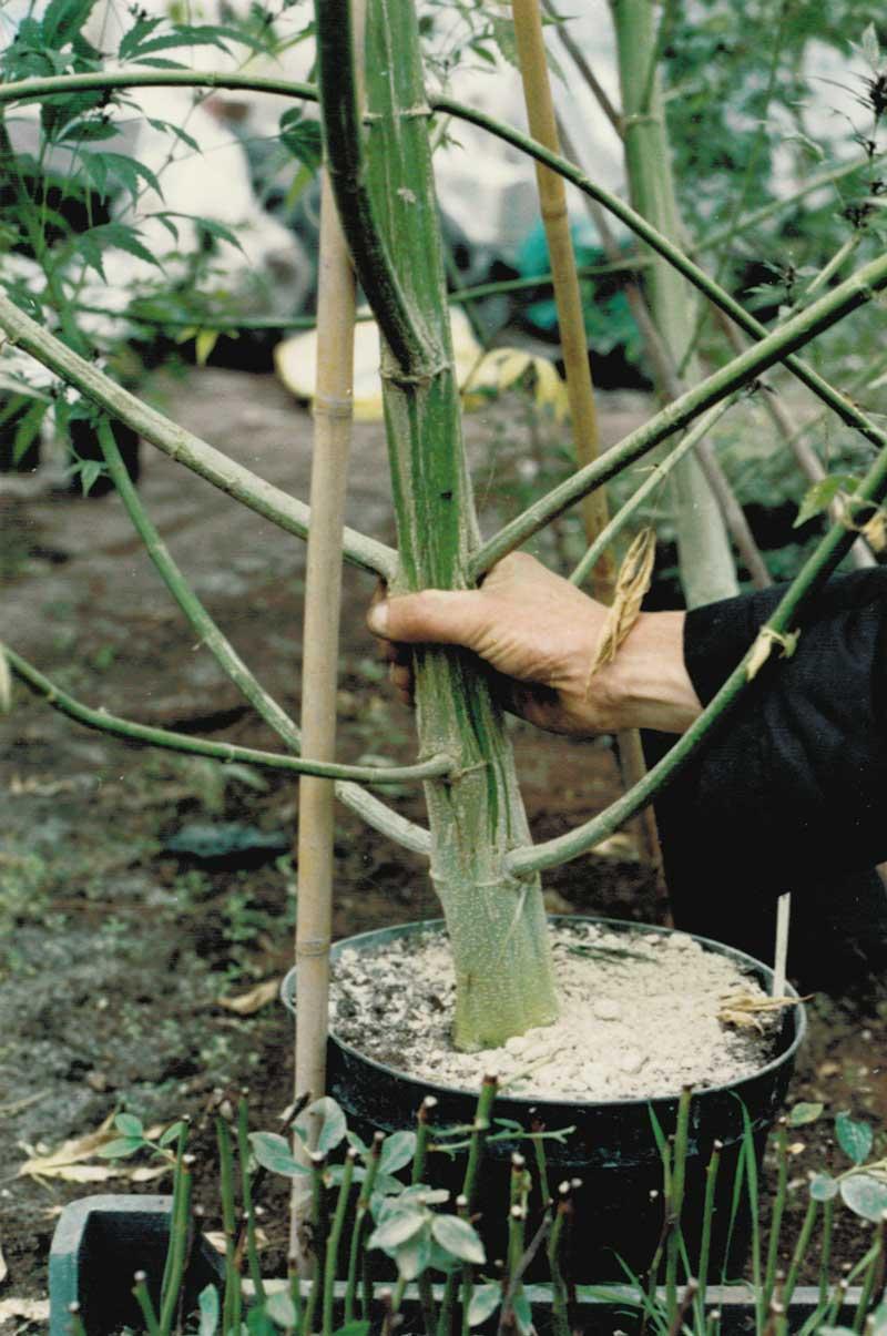 Big cannabis stem