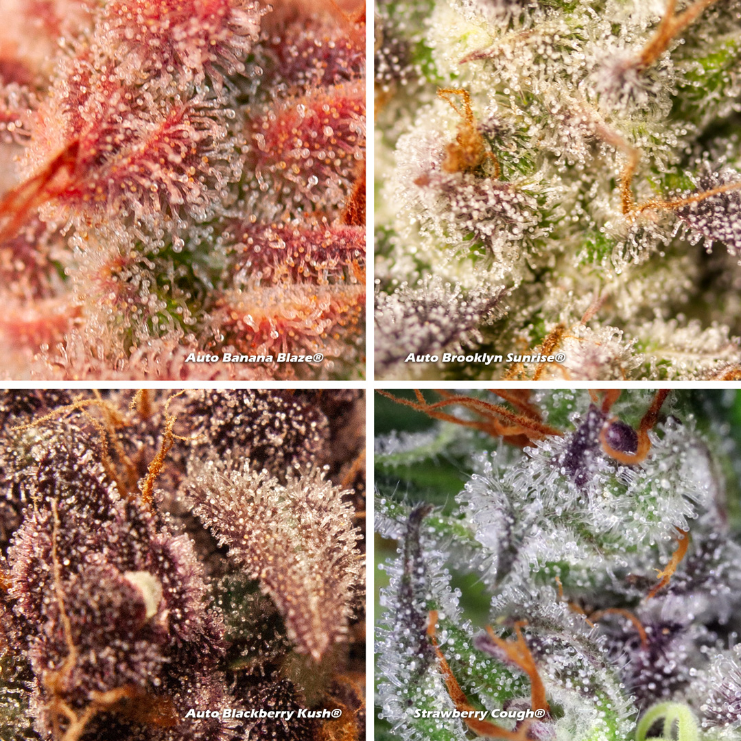 Cannabis trichomes close-up on different strains