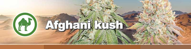 Dutch Passion's Afghani Kush seed collection