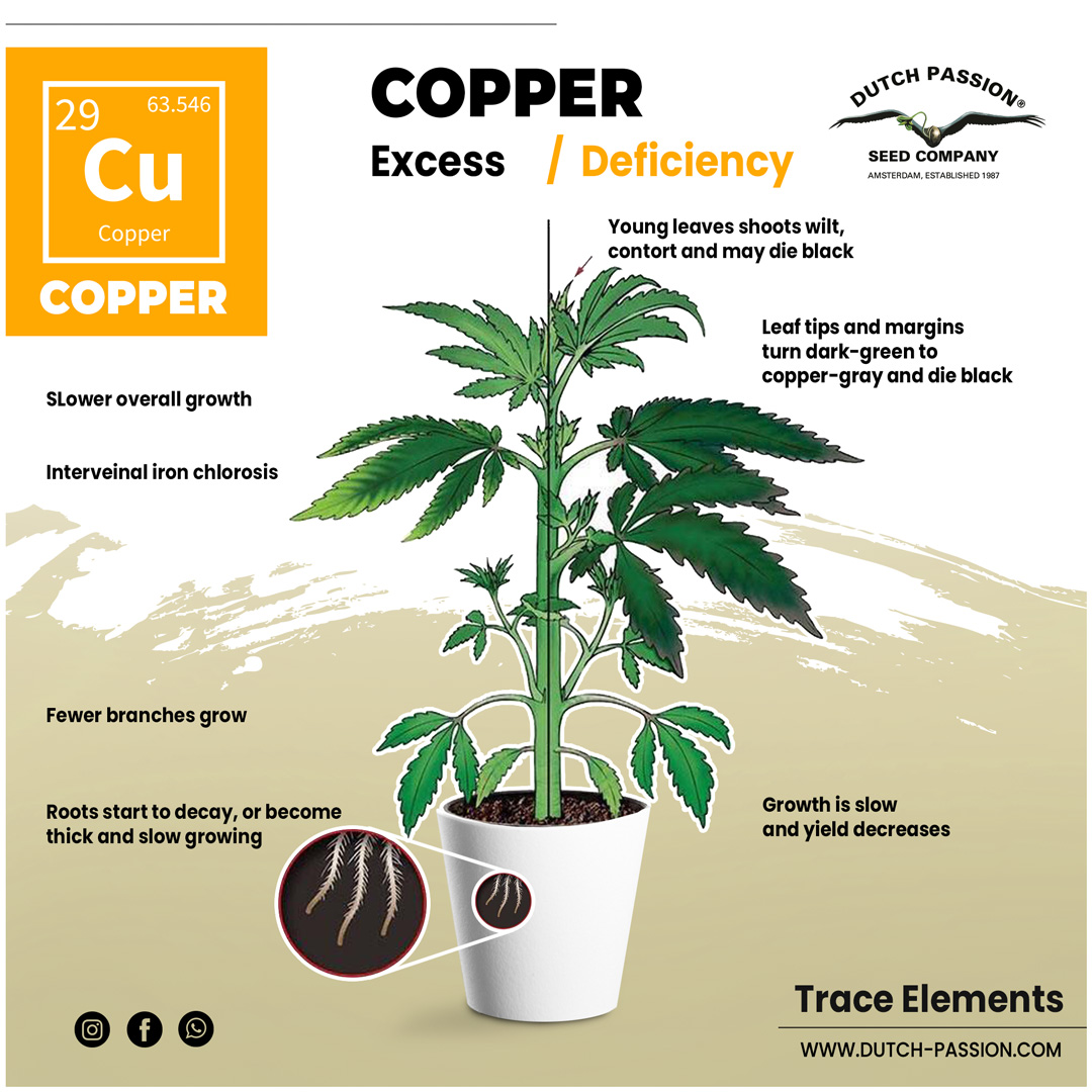 Copper deficiency in a cannabis plant