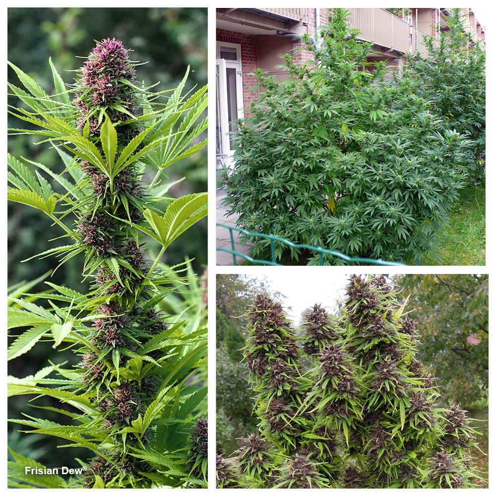 Frisian Dew: proven feminised outdoor strain with beautiful looking buds