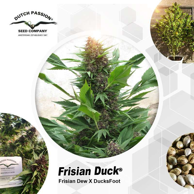 Frisian Duck Outdoor Cannabis Seeds - Dutch Passion