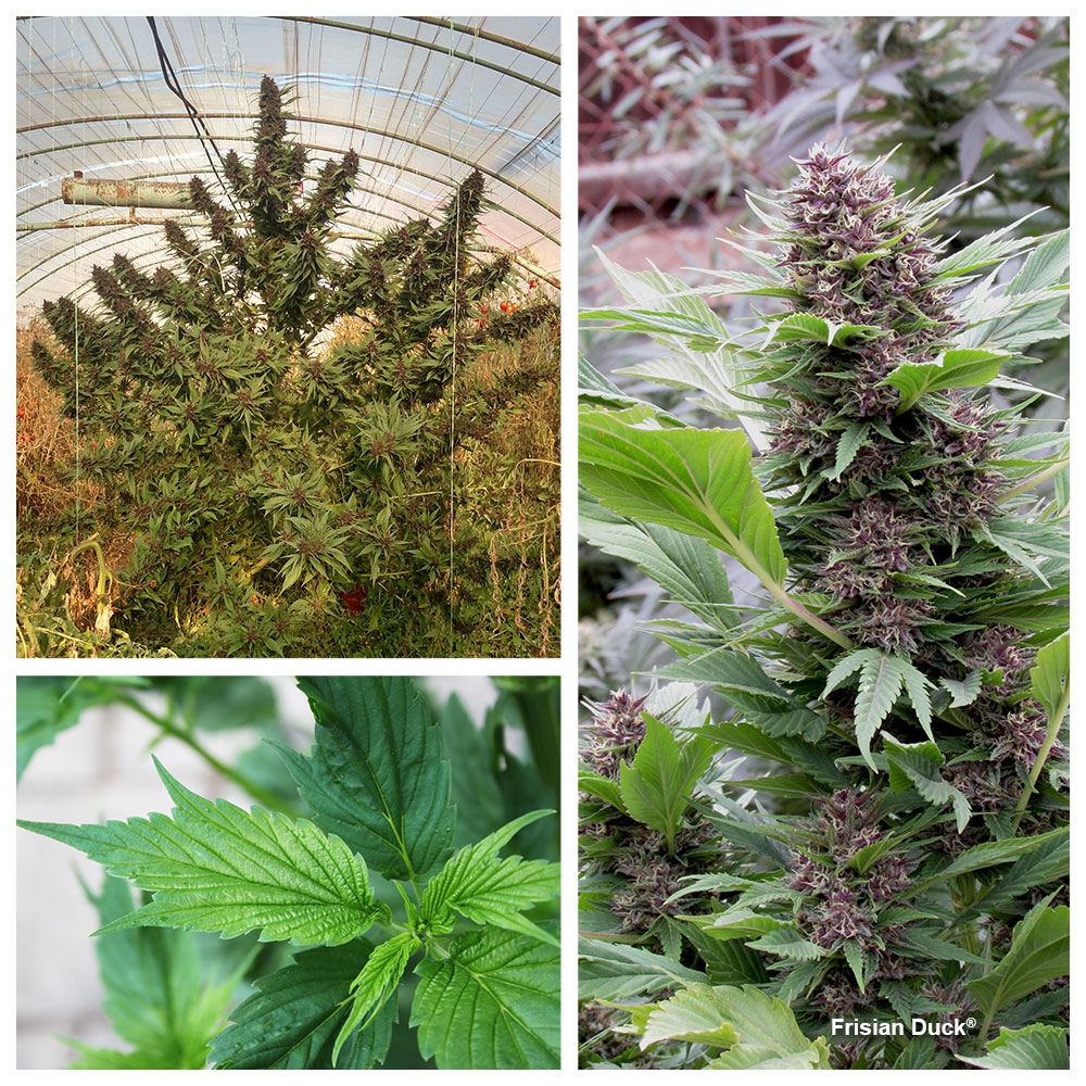 Frisian Duck: Uniquely shaped webbed leaves make this the top outdoor strain for stealthy growing