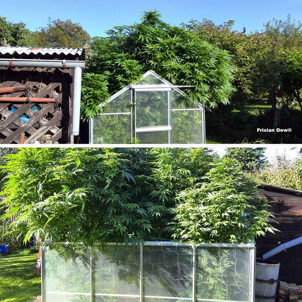 Frisian Dew, heavy yields from a greenhouse grow