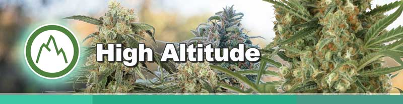 Dutch Passion High Altitude cannabis seeds
