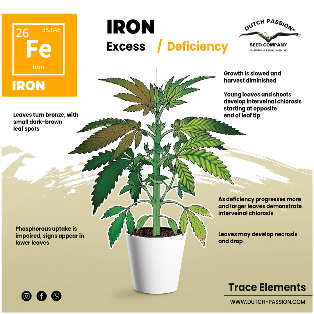 Iron deficiency in a cannabis plant