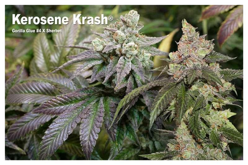 Kerosene Krash - Gorilla Glue #4 X Sherbet