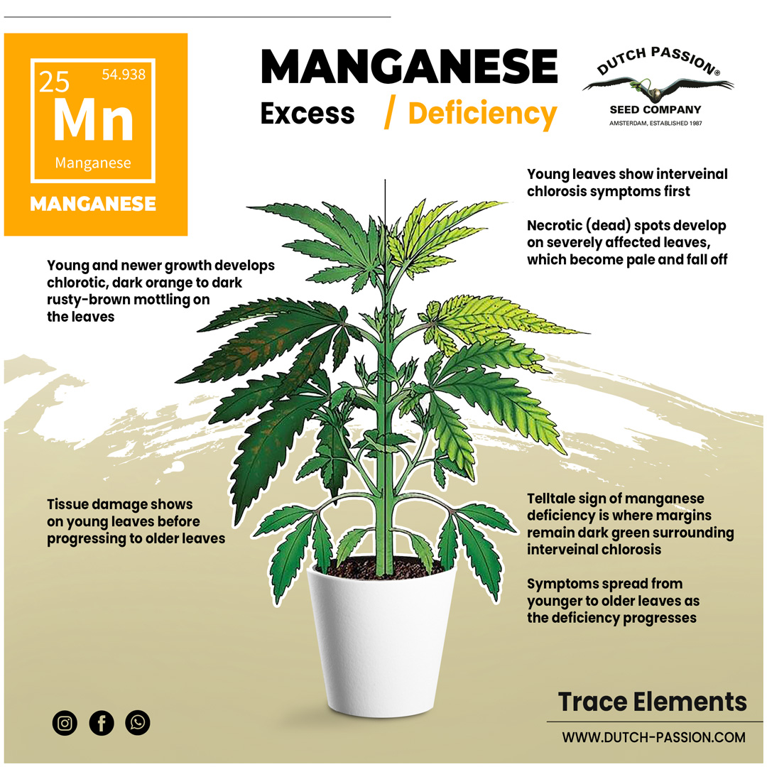 Manganese deficiency in a cannabis plant