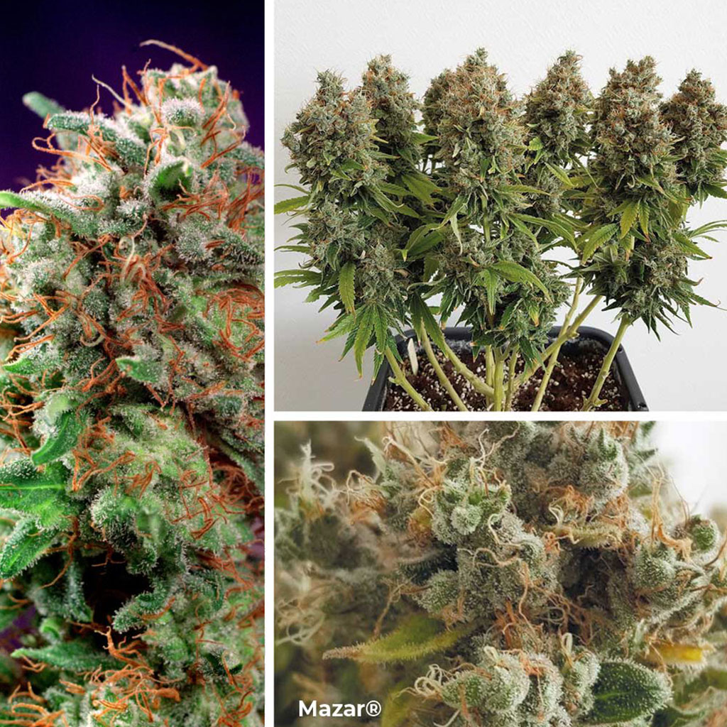 Mazar-afghani-indica-by-Dutch-Passion-seed-company-good-for-sog