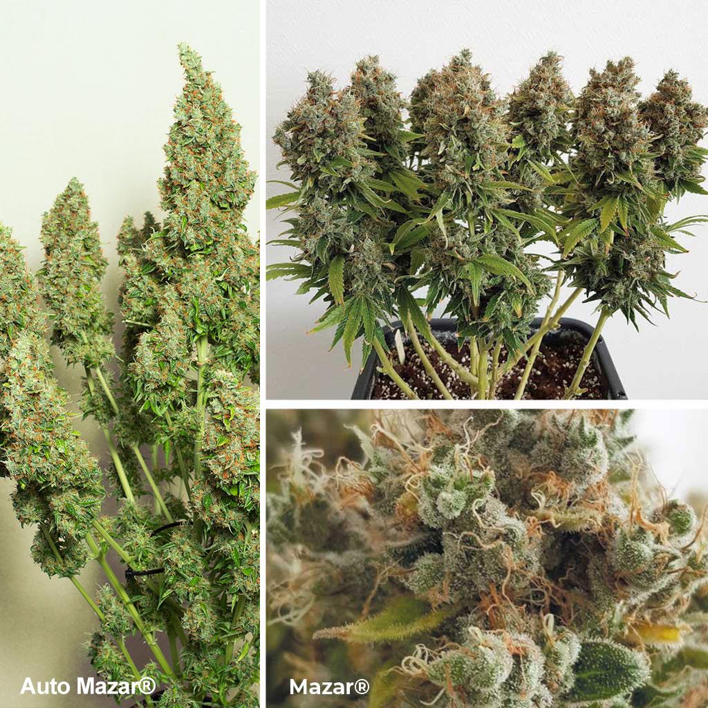 Mazar (& Auto Mazar), une variété de cannabis Afghani Kush classique, gagnante de la cannabis cup