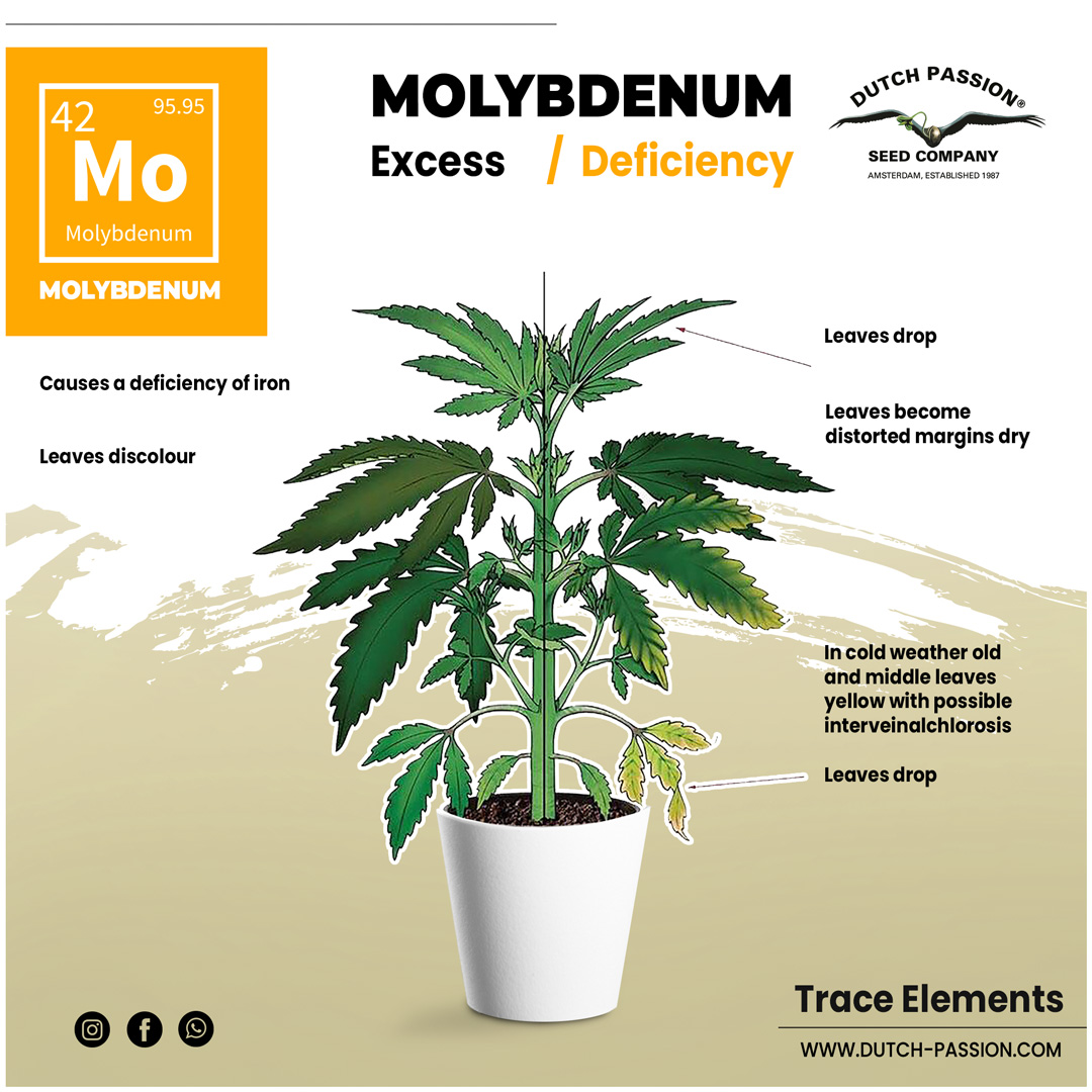 Molybdenum deficiency in a cannabis plant