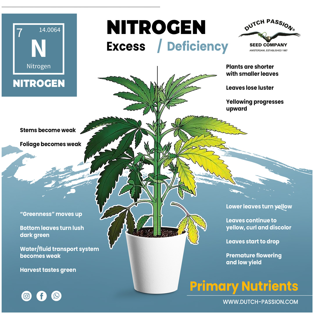 Nitrogen deficiency in a cannabis plant
